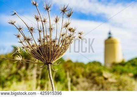 Single Plant And Carbonera Lighthouse In The Distance. Punta Mala, La Alcaidesa, Spain. Lantern Over