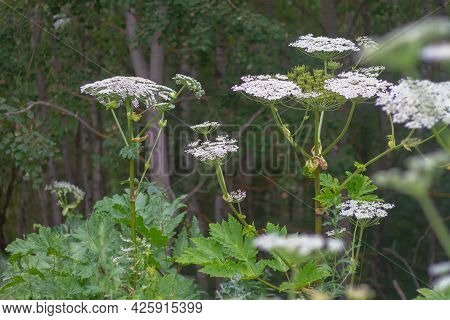 Poisonous Plant Hogweed Grows Along The Road In The Forest, A Plant With A Dangerous Poisonous Juice