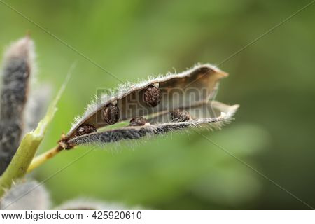 Seeds Of Narrow Leaved Lupin, Lupinus Angustifolius, Lupin Plant Producing Seed