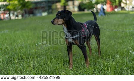 Happy Black Dog Standing At Grass