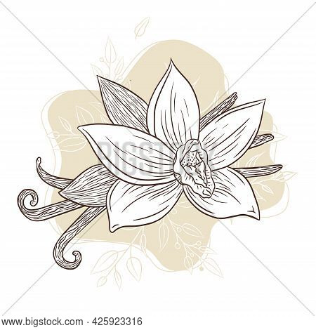 Vanilla Spice Engraved Illustration Line Art On Abstract Floral Background For Logo, Recipe, Menu, E