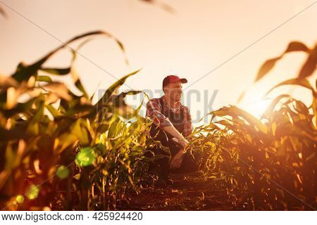 Middle Age Male Caucasian Maize Farmer With Tablet Computer Kneeled For Inspection Corn Stalks