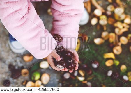 Closeup Of Hands Of Toddler Girl Picking Chestnuts In A Park On Autumn Day. Child Having Fun With Se
