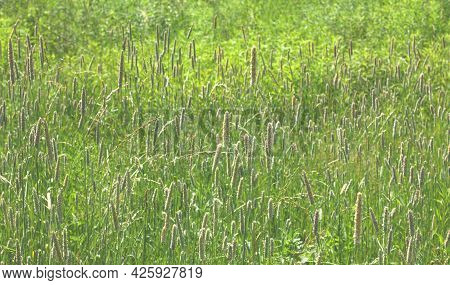 Natural Background On A Sunny Day, Green Grass With Elongated Shaggy Peaks In The Haze