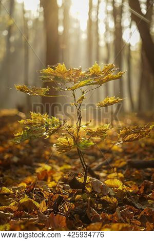 A Small Oak Tree (quercus Petraea) With Yellow Leaves At Sunrise In The Forest