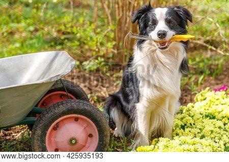 Dog Border Collie Holding Garden Rake In Mouth, Wheelbarrow Garden Cart In Garden Background. Funny