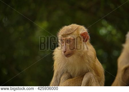 Sad Lonely Monkey On The Hill, Monkey Hill In Phuket