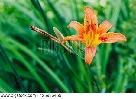 Small Orange Lillies In The Garden. High Quality Photo