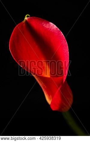 red calla on the black background
