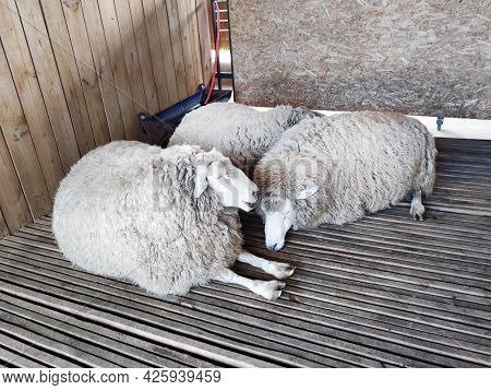 Sheep Stable. Group Of Sheep Domestic Animals In Barn Farming Breeding And Food Production. Wool Pro