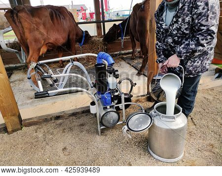 Close Up Of Milking Machine Standing In Front Of Simmental Cows Eating Straw In Stable. The Milkman