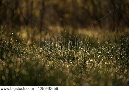 Green Grass With Morning Dew At Sunrise. Water Drop, Water On Green Grass. Beautiful Grass With Drop