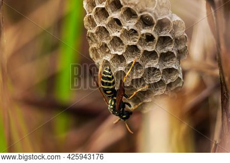 Wasp Nest In The Grass. A Wasp In Its Nest. The Wasp At The Hive