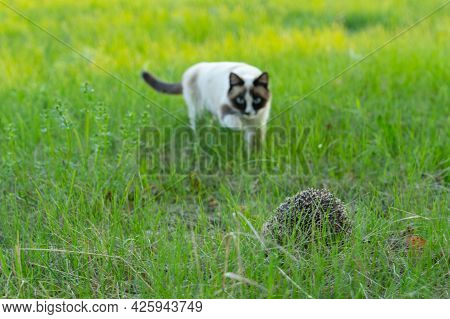 The Cat Sneaks Up To A Hedgehog Hiding In The Grass. Selective Focus, Focus On The Foreground