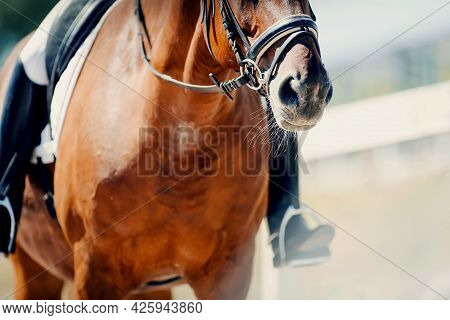 Nose Sports Red Horse In The Bridle. Portrait Stallion In The Bridle. Horse Muzzle Close Up. Dressag
