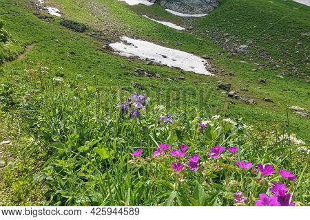 Alpine Meadow On The Mountainside. Among The Lush Green Grass Grow Pink, Purple, White Wildflowers.