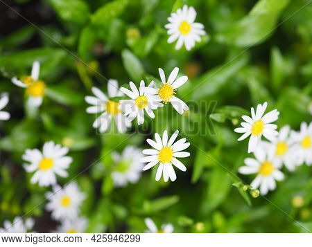 Common Daisy, Bellis Perennis White Yellow Color Flower Blooming In Garden Blurred Of Nature Backgro
