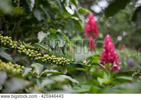 Coffee Green Beans On A Branch At Coffee Tree Plantation With Floral Leaves Bacground. Fresh Green J