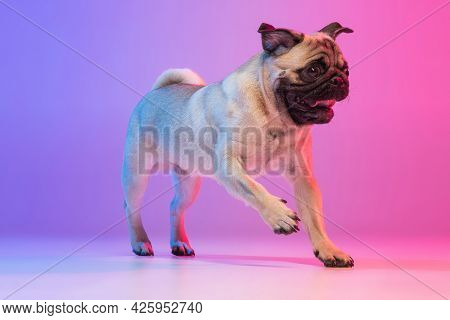 Portrait Of Purebred Pug-dog Cheerfully Running Isolated Over Gradient Purple Pink Background In Neo