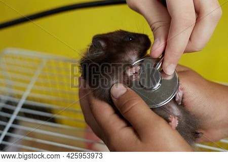 A Veterinarian Listens To A Small Syrian Hamster With A Stethoscope.