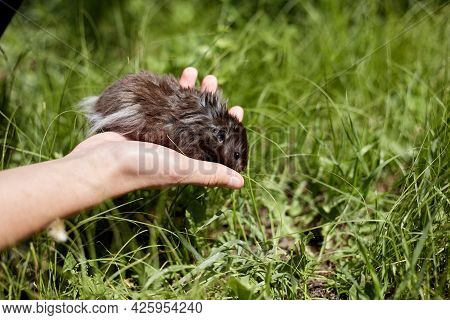 A Syrian Hamster Is Released From The Hand To Walk On The Green Grass.