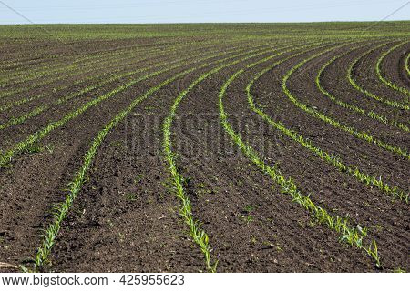 Field With Corn In Spring. Parposts Of Plants Began To Grow In A Straight Line. Field Of An Agricult