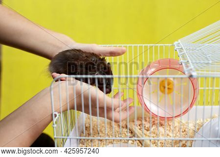 The Hostess Puts Her Syrian Hamster In The House.