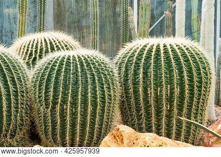 Den Helder, The Netherlands. July 2020. The Cacti Of The Botanic Garden In Den Helder, Holland. High