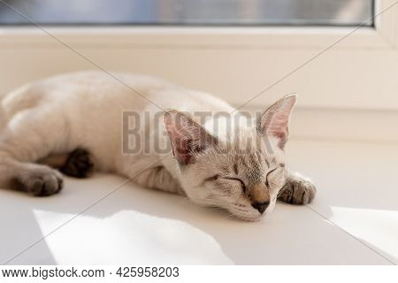 Tabby Little Kitten Sleeping On The Windowsill In Living Room. Color-point Cat Mekong Bobtail Breed.