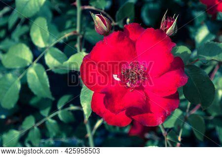 Red garden rose flower, red rose blooming in the garden, creative filter applied. Flower landscape, flower garden, red rose flower, blooming rose flower, flower in bloom, rose flower in blossom