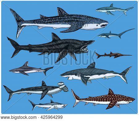 Sharks Set.great White Shark, Sixgill Sawshark. Basking Sand Tiger Hammerhead Thresher Atlantic Bull