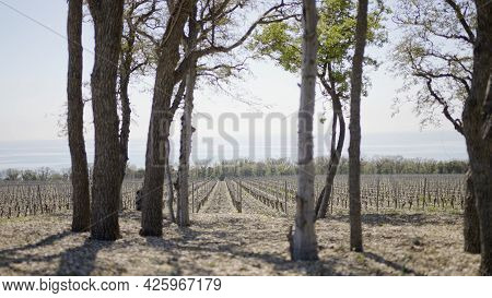 Forest Landing At Farmers Field. Action. Dry Trees On Background Of Grape Field On Sunny Day. Hot Da