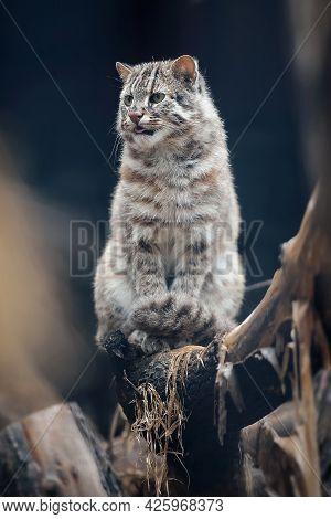 Portrait Of Adult Amur Forest Cat (prionailurus Felis Bengalensis Euptilura). Far Eastern Cat Is A N