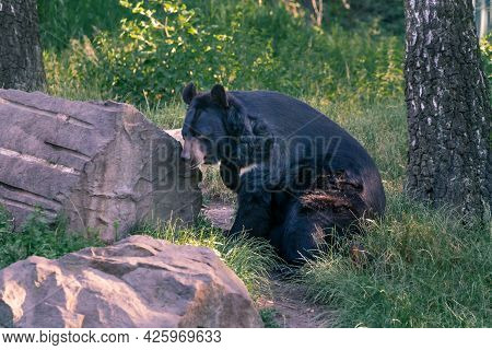 Asian Black Bear, Ursus Thibetanus, Resting In The Shade Of Tress By Big Boulder. Also Known As Moon