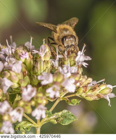 The Bee Diligently Collects Nectar From Flowers