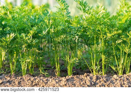 Unripe Young Carrots In The Garden. Green Leaves Of Carrots That Have Sprouted After Planting