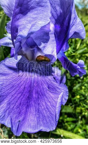 Blue Purple Iris With Green Background Orange Anther