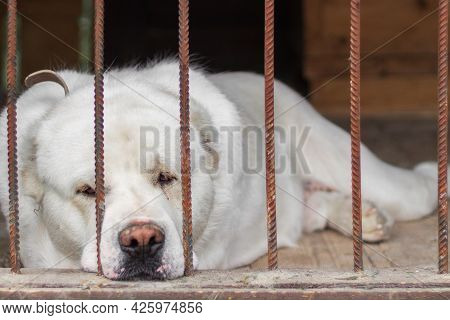 Central Asian Shepherd Dog Lies In The In A Cage. Sad Alabay Dog Behind Bars. Selective Focus