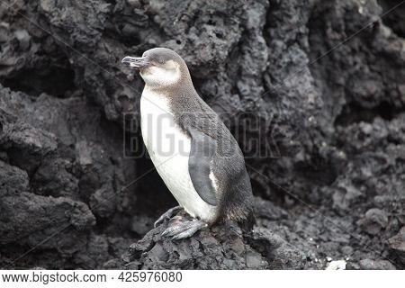 Portrait Of Galápagos Penguin (spheniscus Mendiculus) Standing On Lava Rocks Galapagos Islands, Ecua
