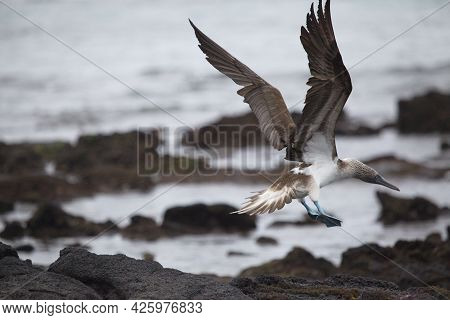 Blue Footed Booby (sula Nebouxii) Flying Wings Spread Over Lava Rocks Galapagos Islands, Ecuador.