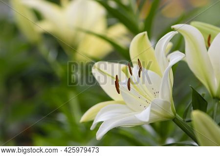 Lilium. White Lily Field. Beautiful Lily Flower, Close-up. Delicate White Lilies In The Garden, In T