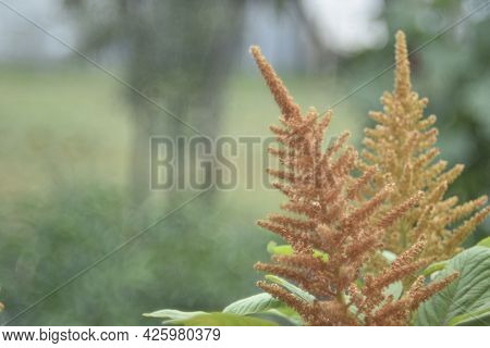 Yellow Bush Of Amaranth Flowers Lat. Amaranthus In The Garden In Summer