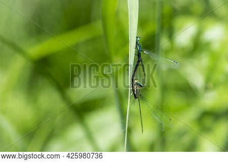 Coenagrion Puella. Two Dragonflies On A Green Grass. A Pair Of Dragonflies Mate In A Bright And Gree