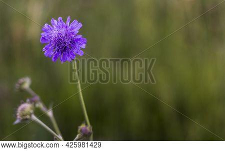 Korostavnik Field Is A Species Of Perennial Herbaceous Plants Of The Genus Korostavnik Of The Fleece