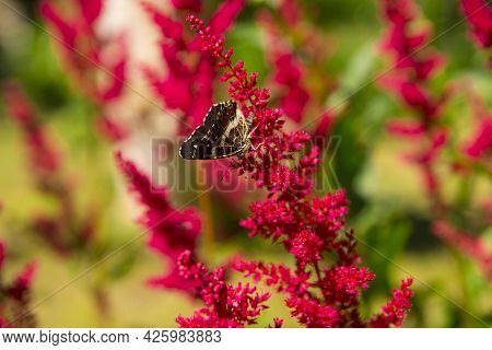 A Chocolate Butterfly Sits On A Flower . Collects Nectar