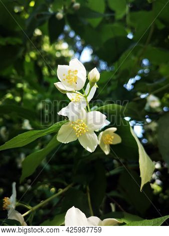 Beautiful White Jasmine Flowers  In The Garden. Gardening Is A Great Hobby. Close-up Picture.