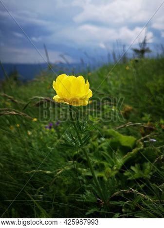 Yellow Globeflower The Mountains. Alpine Flora.trollius Europaeus, The Globeflower.