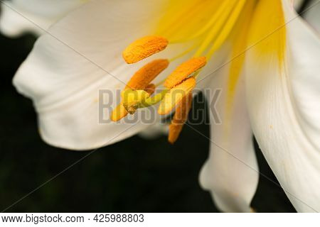 Lily Flower With White Petals, Pistil And Stamens Close-up, Macro