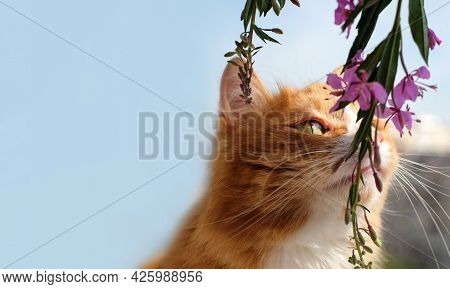 Cat Sniffing The Flower Blooming Sally On Natural Blue Sky Background, Copy Space