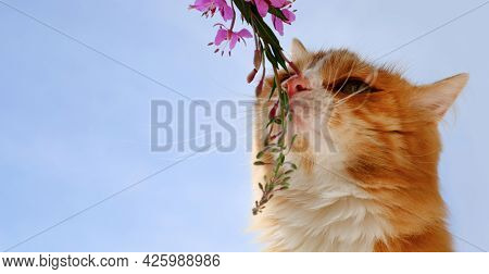 Curious Cat Sniffing The Flower Blooming Sally On Natural Blue Sky Background, Copy Space